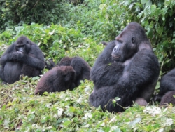 Eastern-lowland gorilla conservation in Kahuzi-Biega National Park