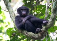 Bonobo: Lukuru Wildlife Research Project