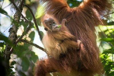 Save the Tapanuli Orangutan