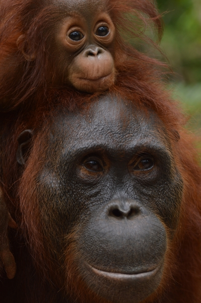 From home for Orangutans!