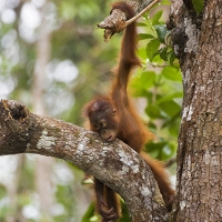Belantikan Forest project – Orangutan Foundation