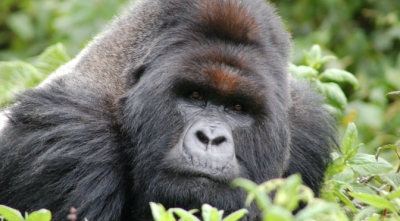 A plan to save great apes in Central Africa