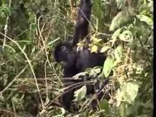 Juvenile Gorilla Swinging on Vine