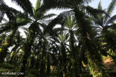 Oil palm plantation in Sumatra