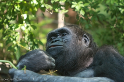 A young Lowland gorilla. All four subspecies of gorilla are listed as critically endangered by the IUCN.