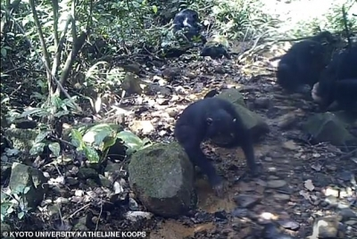'World first' footage of mother and child chimpanzees habitually catching crabs in the wild