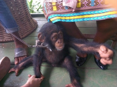 Court Fines Woman for Illegal Possession of Chimpanzee in Liberia