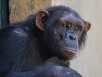 Sweetwaters Chimpanzee Sanctuary, Ol Pejeta Conservancy, Kenya
