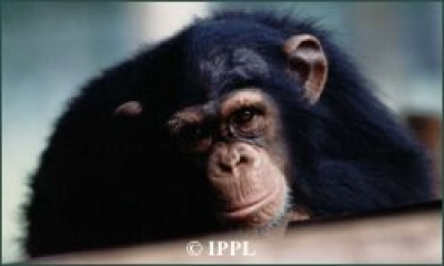 Ape tantrums: Chimps and bonobos emotional about choice