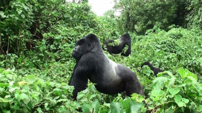 Silverback Gorilla in Virunga National Park