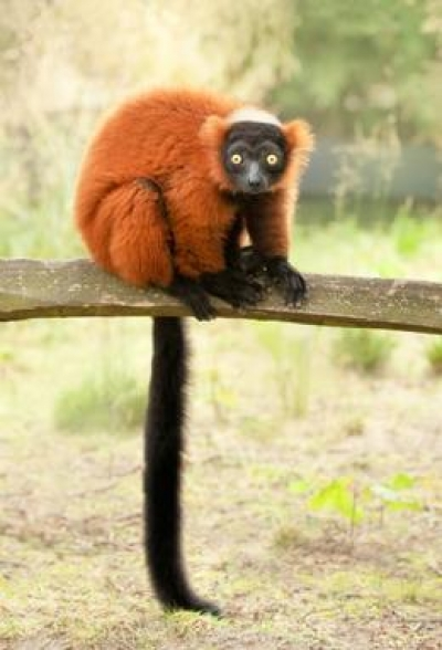 The red-ruffed lemur, one of the 101 lemur species threatened with extinction