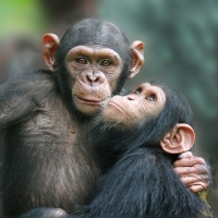 The Tchimpounga Chimpanzee Rehabilitation Centre