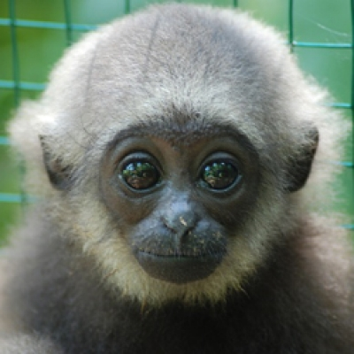 Kalaweit Gibbon Project Indonesia